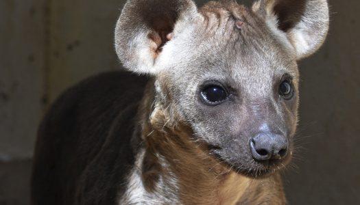 ¿Quieres ponerle el nombre a la hiena nacida en BIOPARC?
