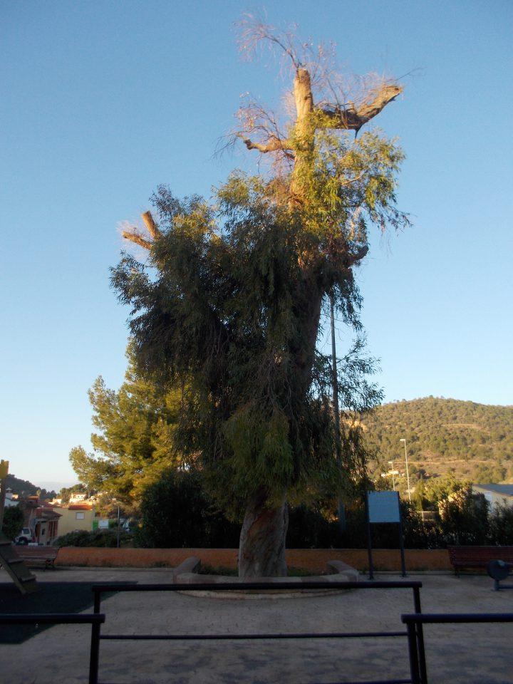 El Venturer, árbol monumental a las afueras de Olocau y punto de inicio de la excursión