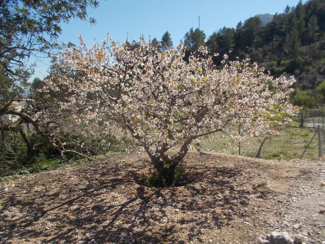 Por doquier los cerezos en flor dando la bienvenida a la primavera