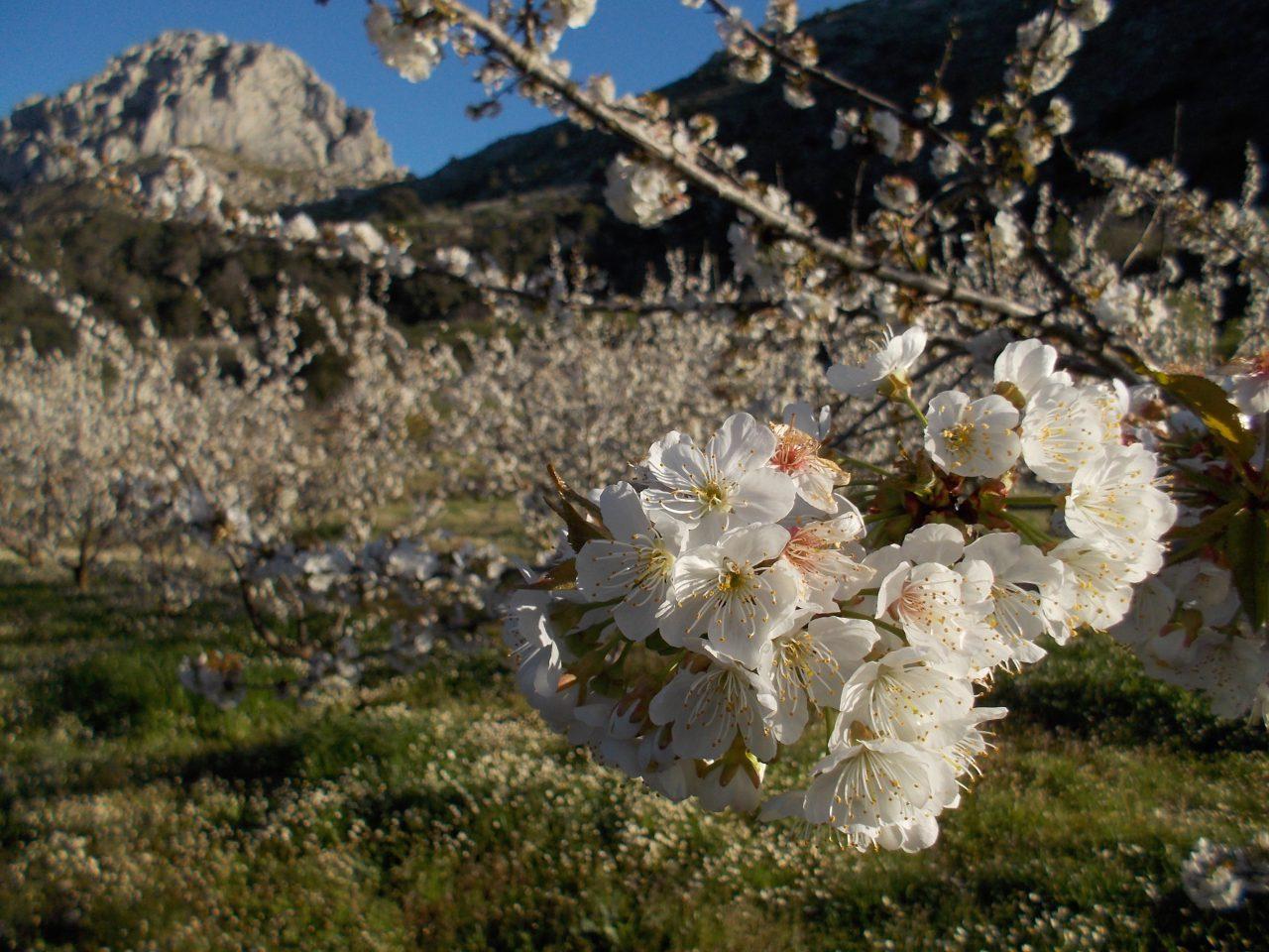 Campos de cerezos en flor