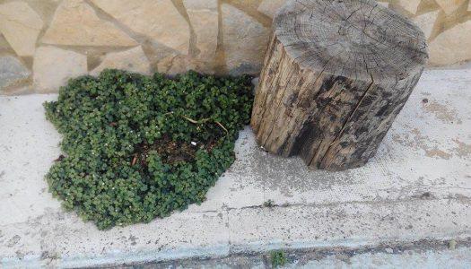 Botánica a la valenciana: la palomilla de muro (Cymbaralia muralis)