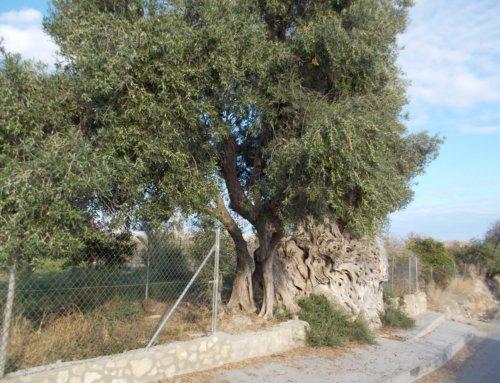 Un valenciano de más de 1400 años: la OLIVERA GROSSA en LA VILA JOIOSA