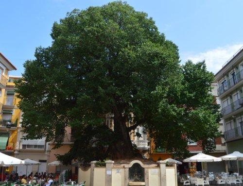 Apoyad la candidatura de árbol del año europeo: el Olmo monumental de Navajas (Castellón)
