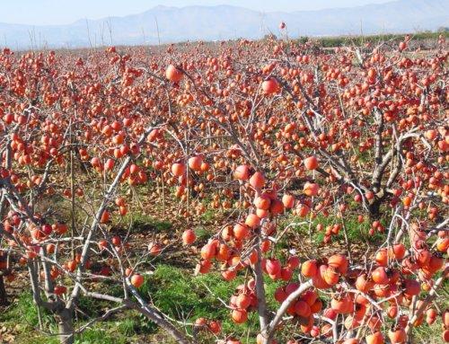 Delicias de l' horta valenciana: el caqui o kaki