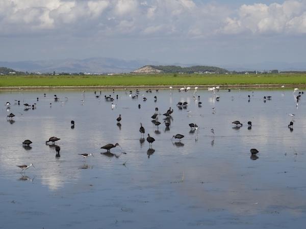 Campos fangosos de l'Albufera